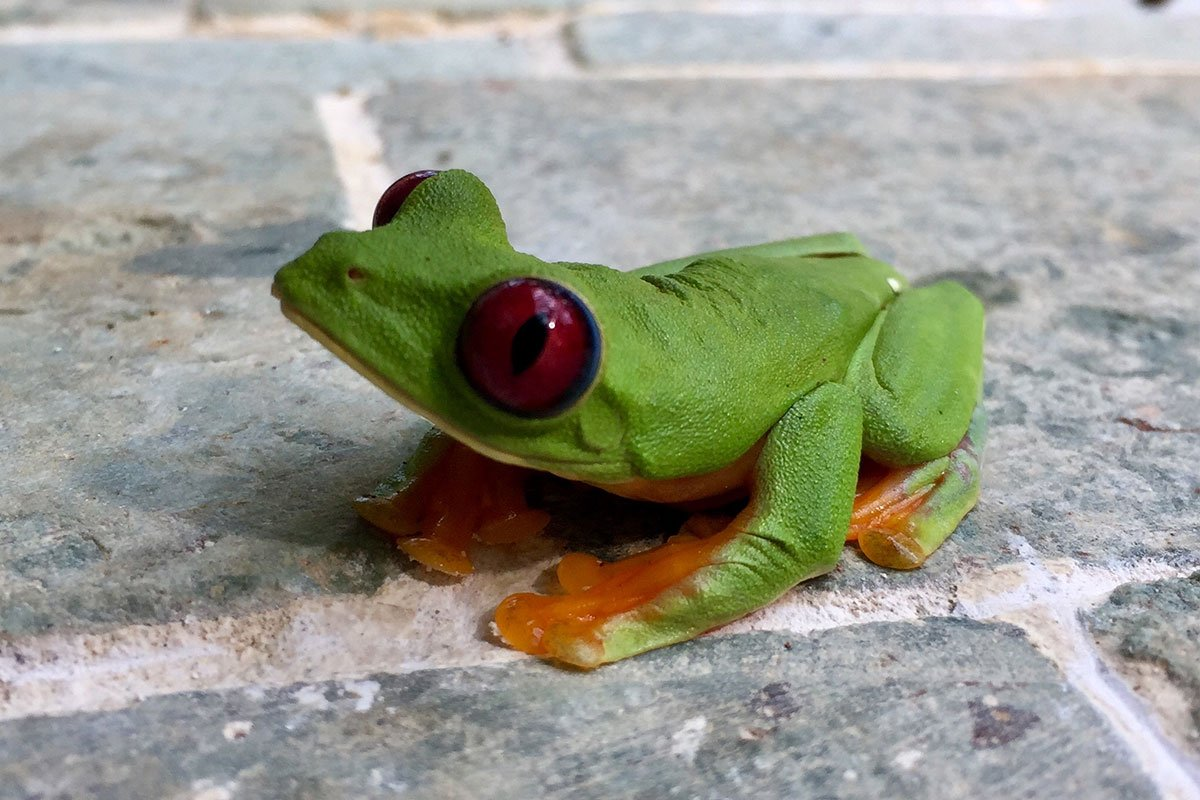 Red eyed tree frog at RP