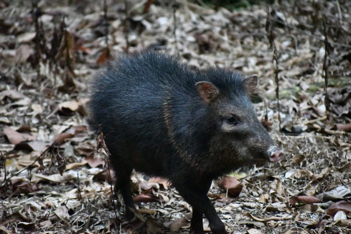 Collared Peccary at RP