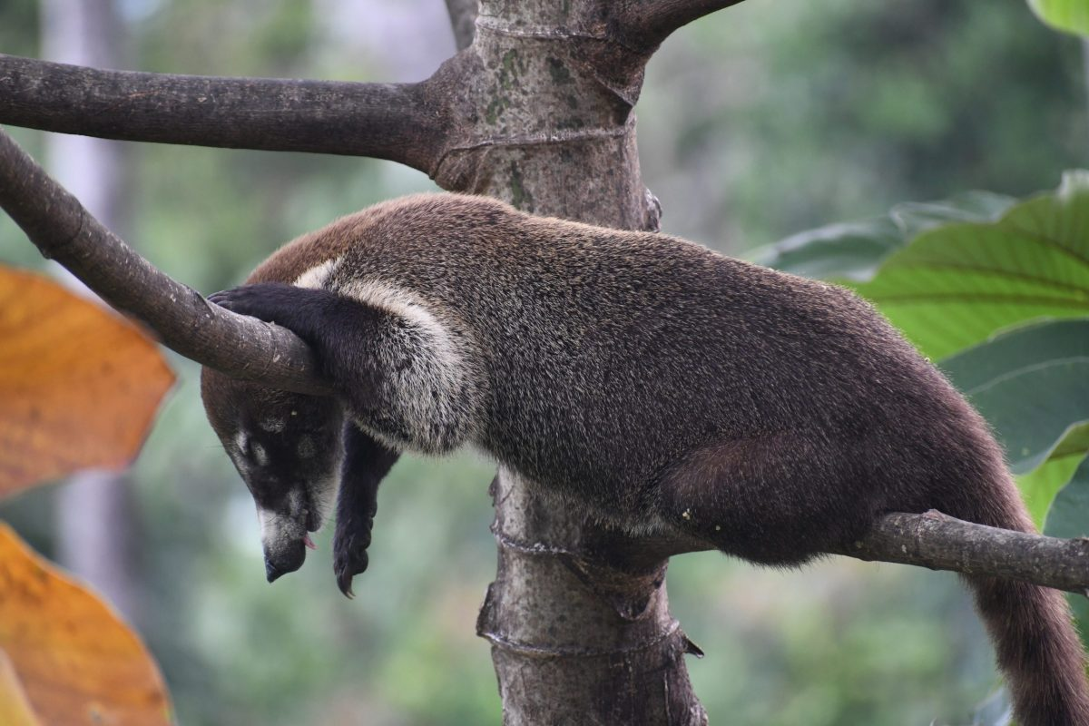 Sleeping Pizote at RP