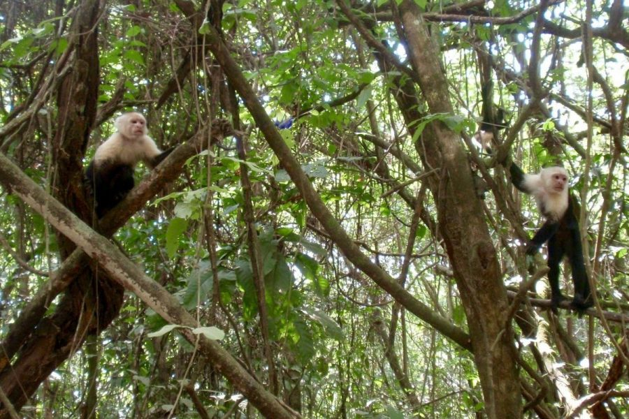 Capuchin Monkeys in Corcovado National Park