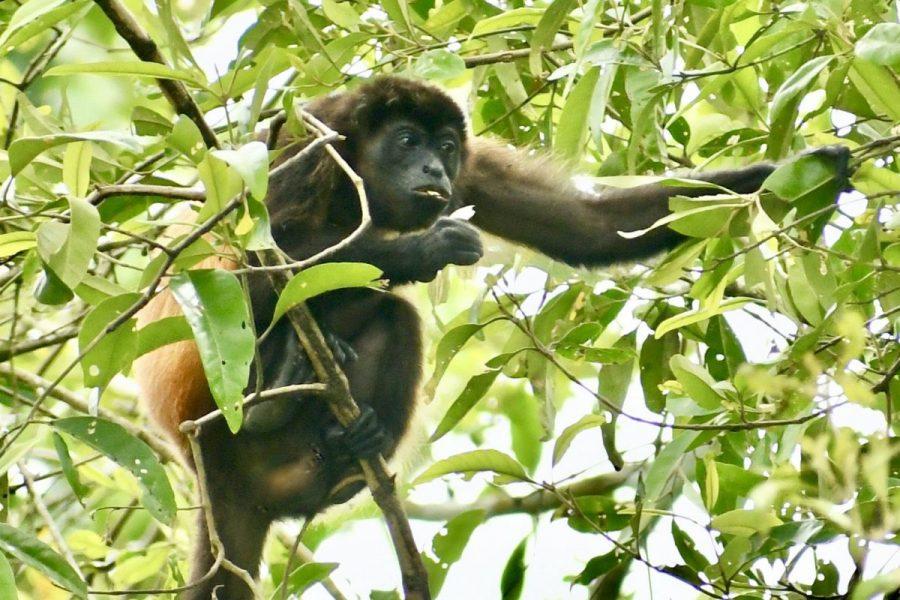 Howler Monkey in Marino Ballena National Park