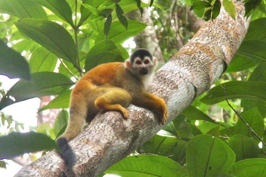 Squirrel Monkey in Corcovado National Park